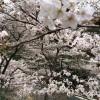 桜とマダムおにおんの思い出。